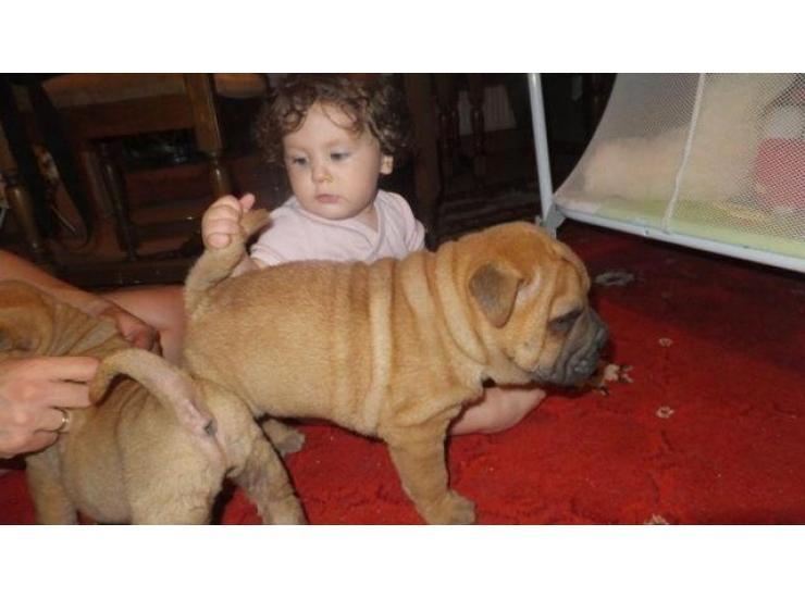 šar Pej Shar Pei štenci Kupujem Prodajem Psa