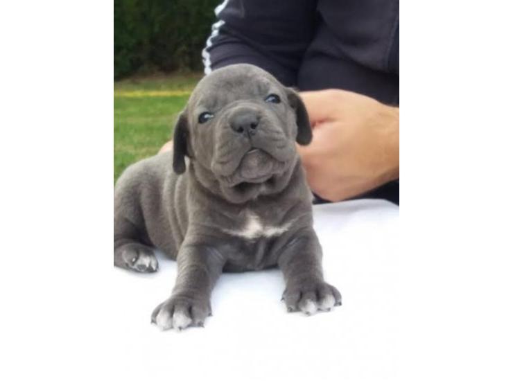 Cane Corso Muški štenci Kupujem Prodajem Psa