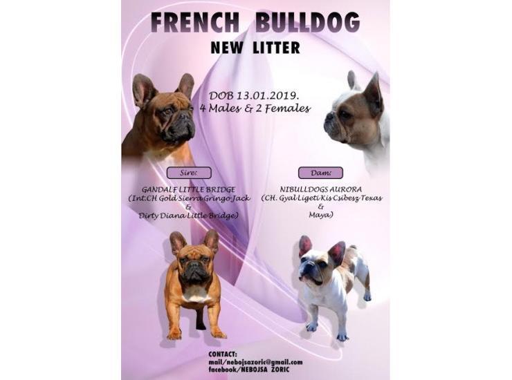 Francuski Buldog Muzjak I Zenka Kupujem Prodajem Psa