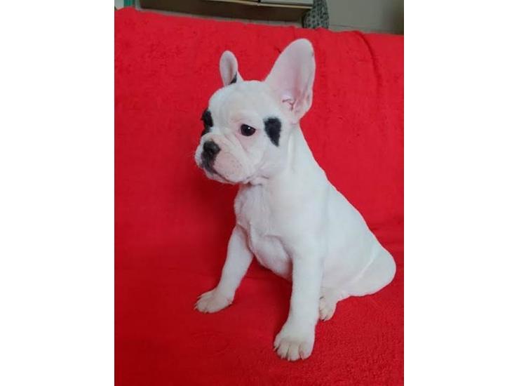 Francuski Buldog Prvobirano Zensko Stene Kupujem Prodajem Psa