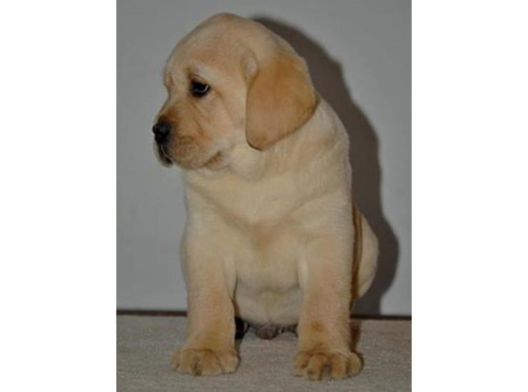 Labrador Retriver Stenci Kupujem Prodajem Psa