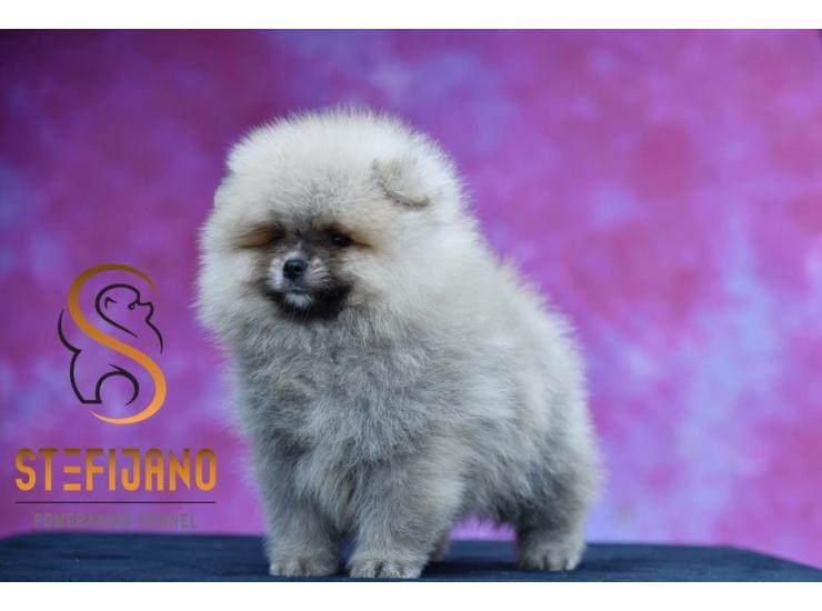 Pomeranac Medvedast Muzjak Kupujem Prodajem Psa