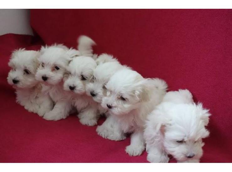 Prodaja Mini Maltezera Kupujem Prodajem Psa