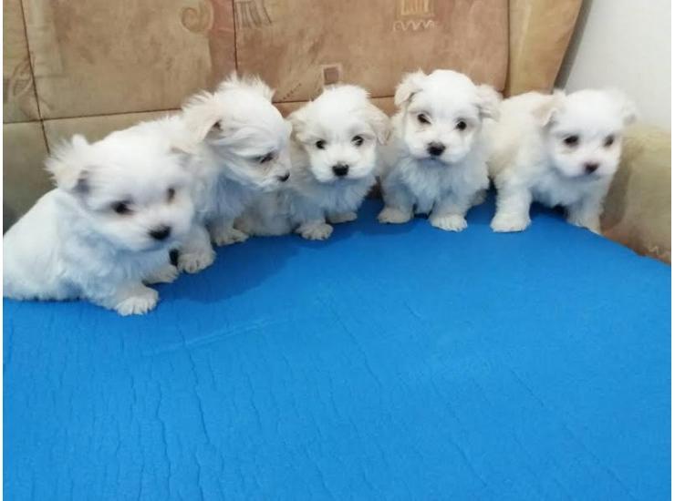 Stenci Mini Maltezera Kupujem Prodajem Psa