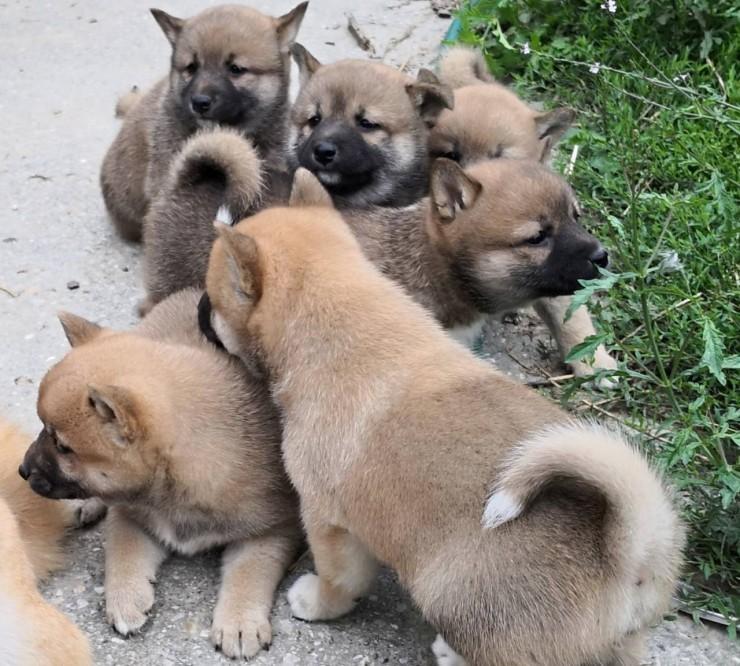 Shiba Inu Prodaja Kupujem Prodajem Psa